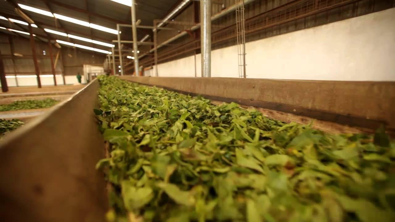proceso de elaboracion del te negro tea market colombia
