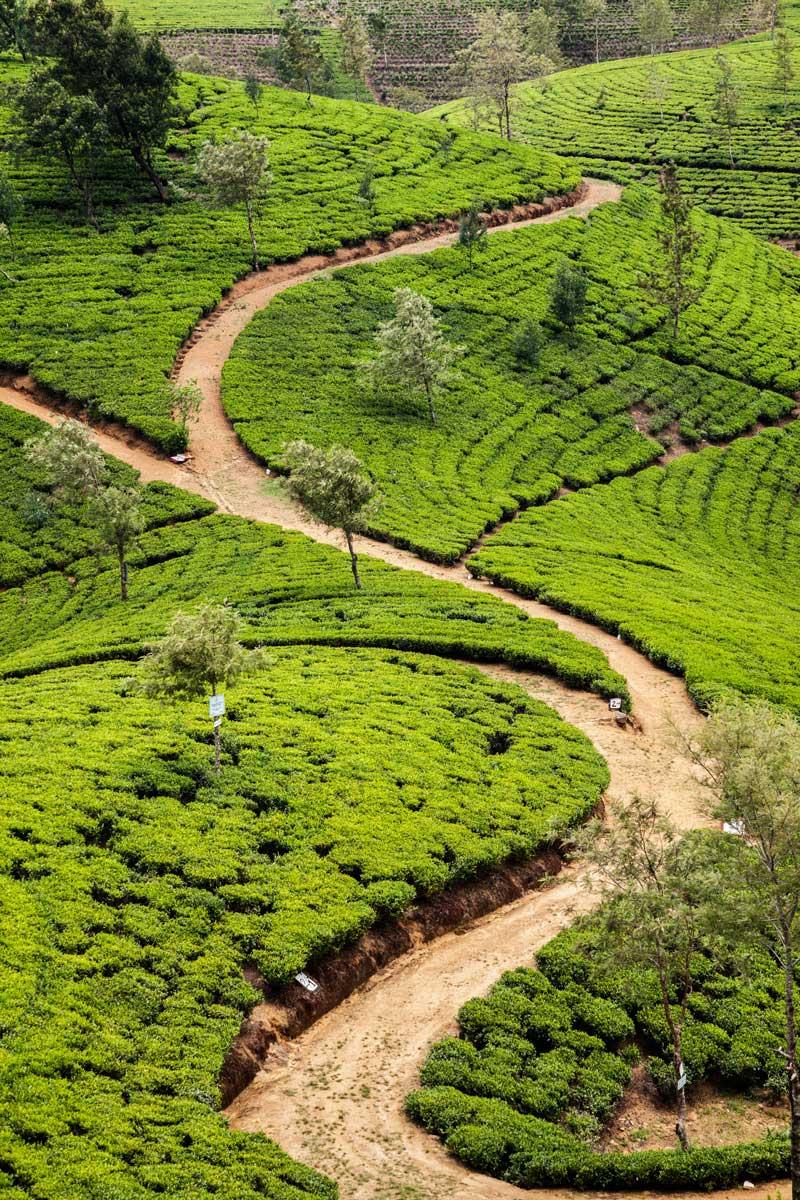 tea market te blanco plantacion historia